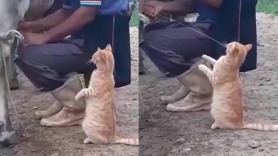 Gato toma leite direto da fonte e exige que lhe deem mais
