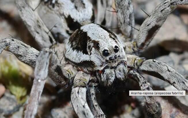 Supostamente extinta, aranha incomum surge em campo militar no Reino Unido