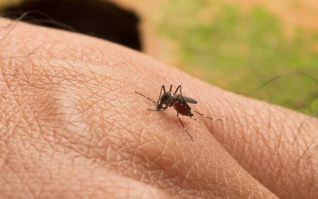 Atualmente, apenas os mosquitos silvestres Haemagogus e Sabethes transmitem o vírus da febre amarela no Brasil