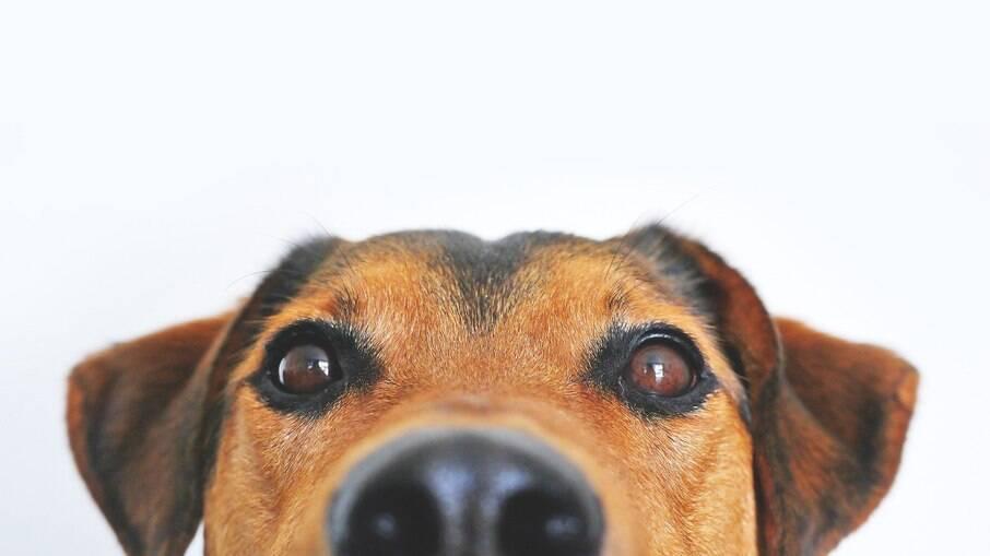 As sobrancelhas dos cães servem como um sensor de proteção para que objetos não entrem nos olhos