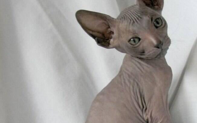 O Petterbald é o famoso gato sem pelo