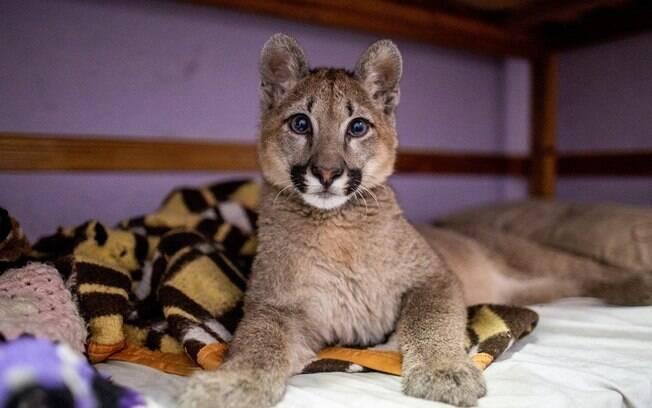 Um filhote de puma foi encontrado vivendo ilegalmente numa casa em Buenos Aires