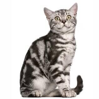 British Shorthair/ British Longhair - undefined