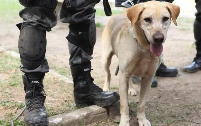 Cão farejador pode auxiliar da detecção de pessoas infectadas pela Covid-19