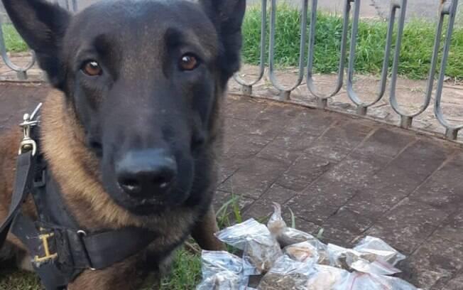 Cão da GM localiza droga enterrada no Cidade Universitária