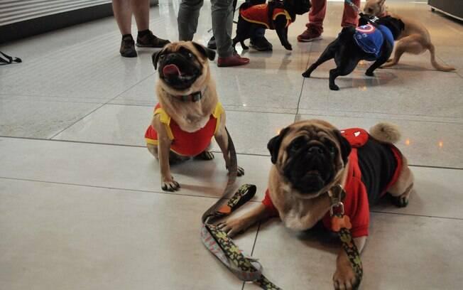 Sushi e Sashimi, os Pugs, vestidos de Homem de Ferro e Homem-Aranha