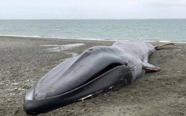Baleia-azul chegou morta à praia do Chile