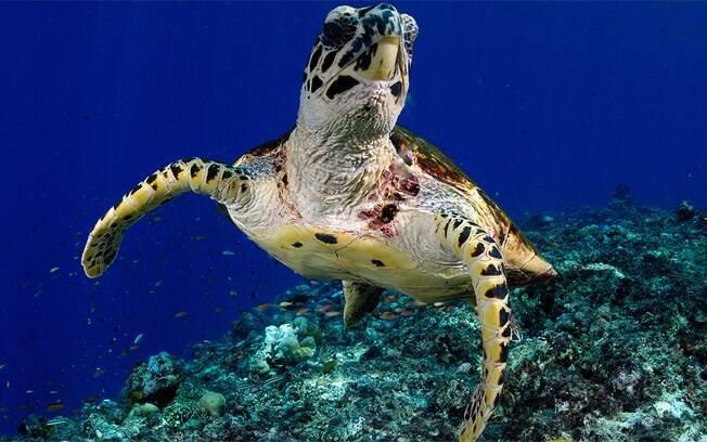 Quando não estão se alimentando, as tartarugas-verdes passam a maior parte do tempo descansando ou dormindo no fundo do mar