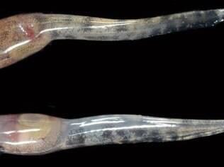 Os girinos filhotes têm cerca de 1,5 cm de comprimento