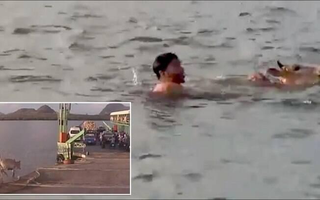 O valente bovino se libertou e deu um salto para a liberdade direto nas águas agitadas