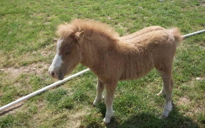 O mini cavalo surgiu do cruzamento entre um pônei e raças de cavalos menores