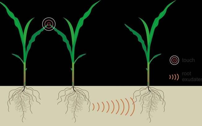 Estudos já apontavam que o toque de plantas em suas vizinhas podia influenciar no crescimento dos vegetais