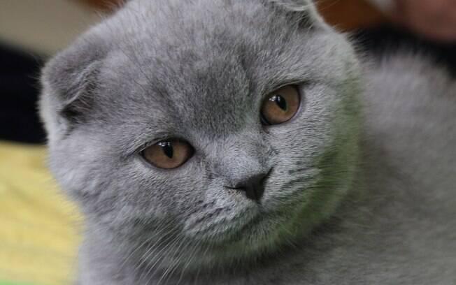O Scottish é um gato que se adapta fácilmente