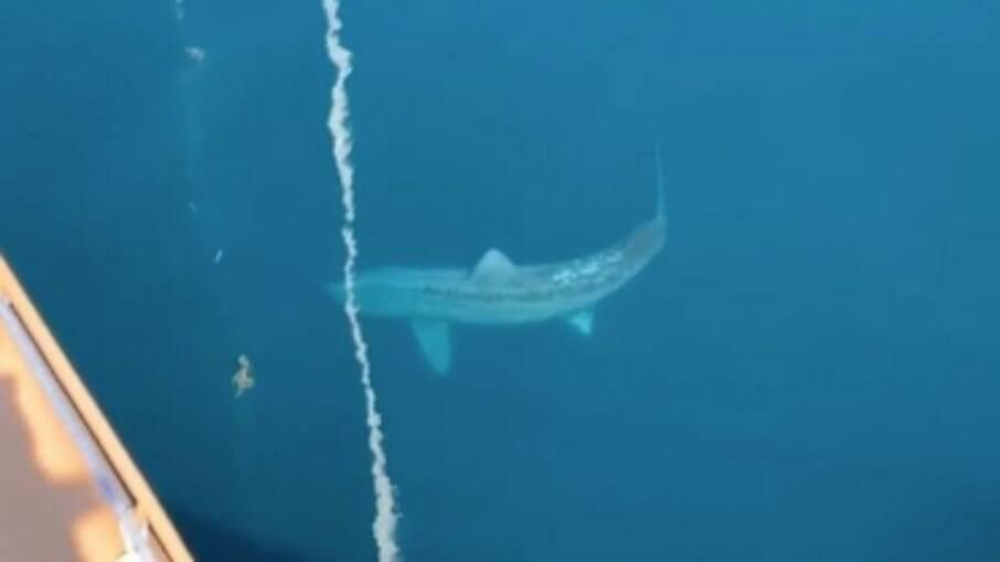 Tubarão gigante assusta navegantes no oceano Atlântico
