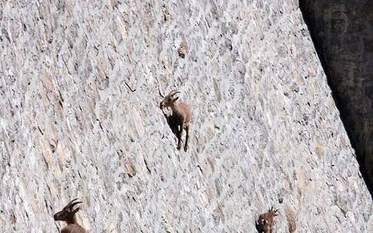 Cabras desafiam lei da gravidade e escalam parede de 40 m em busca de comida - Mundo Insólito - iG