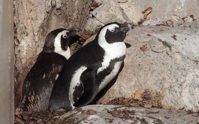 Os pinguins Buddy (E)e Pedro (D) que dividiram o ninho por muito tempo no zoológico de Toronto