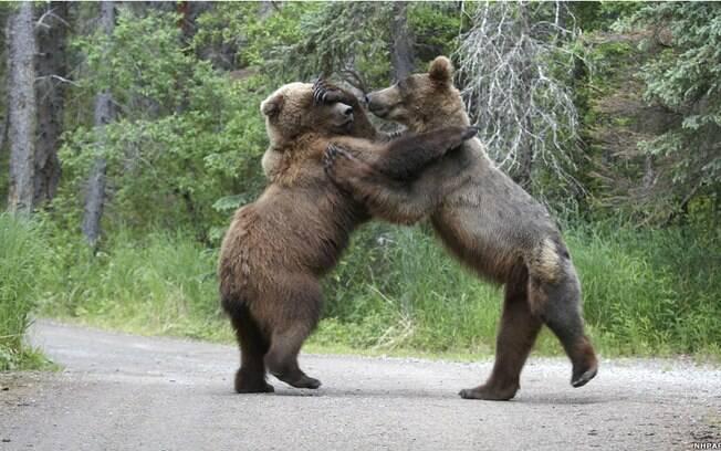fot243grafo captura briga entre ursos meio ambiente ig