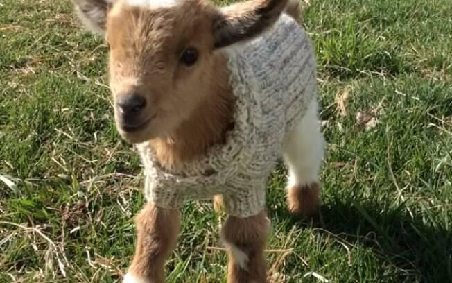 Filhotes de cabra usando casaquinho.