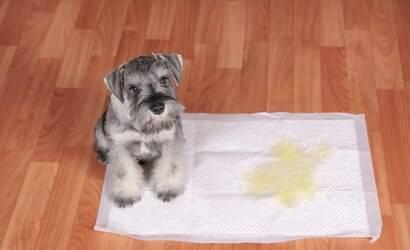 Seu cão faz xixi e cocô no lugar errado? Saiba como educá-lo