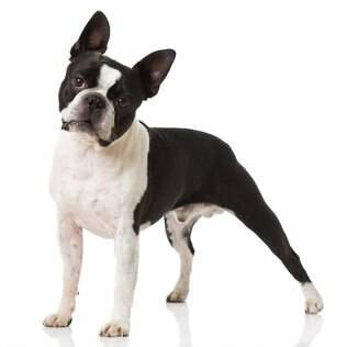 Boston Terrier - undefined