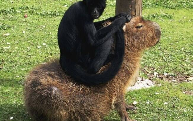 Aparentemente os animais gostam de tratar capivaras como cadeiras.