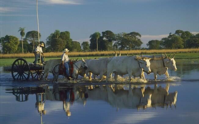 Muitas fazendas pantaneiras permitem que o turista acompanhe o manejo do gado