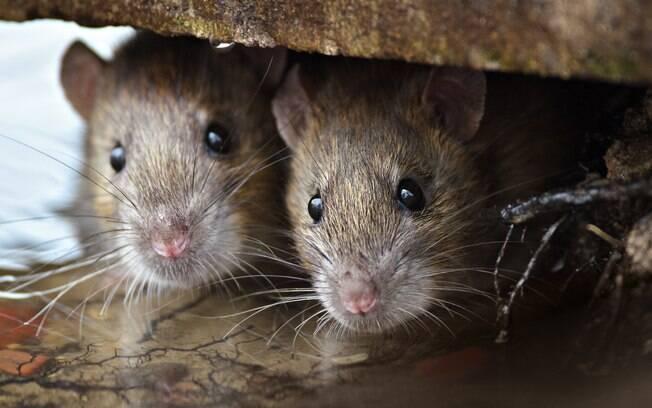 Hantavirose pode ser transmitida por roedores por meio do contato com suas fezes, urina ou saliva