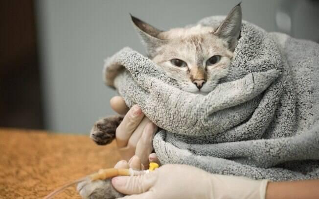 Em caso de desidratação severa, o gato precisará passar por uma terapia de fluídos intravenoso