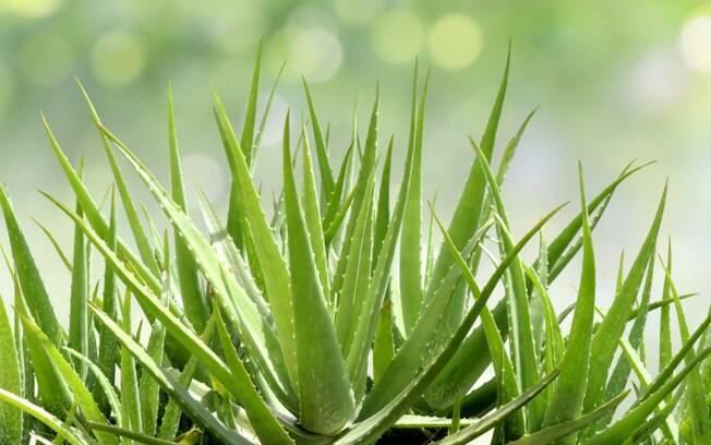 Babosa: saiba como cultivar e conheça suas propriedades