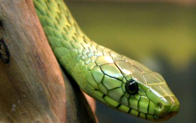 cobra venenosa mamba-verde-ocidental