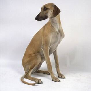 Arabian Greyhound - undefined