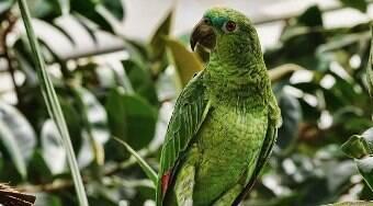 Quantos anos vivem os papagaios? São carnívoros? 6 curiosidades