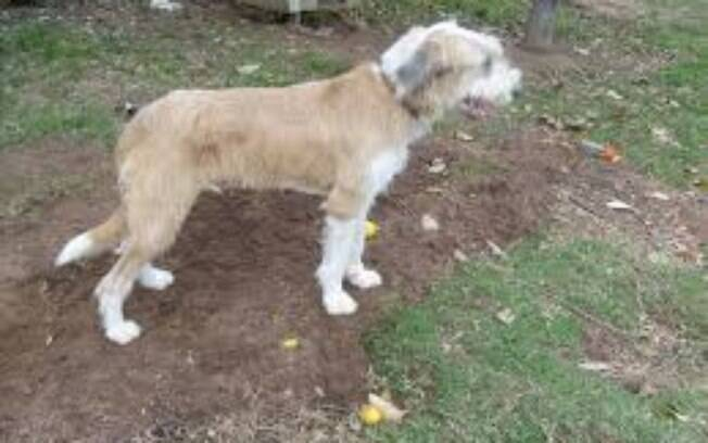 Existem poucas raças de cães originárias no Brasil e a maioria nem é lembrada pelas pessoas