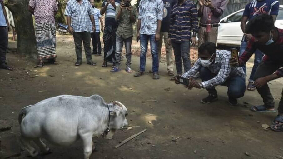 Rani, a vaca anã de 23 meses tem gerado aglomerações em Bangladesh