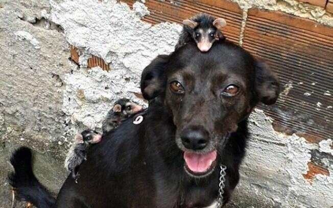 A Cadela Pretinha com os filhotes de gambá