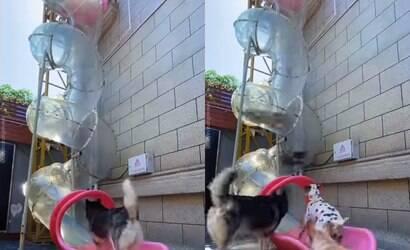 Cães se divertem descendo em escorregador juntos; assista