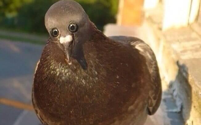 Esse pombo foi o que deu origem à todas as outras montagens de animais com olhos na frente.