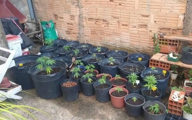 Polícia encontra plantação de maconha e prende homem em Campinas