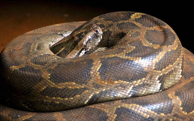 Animal era da espécie Píton, que não oferece riscos aos seres humanos.