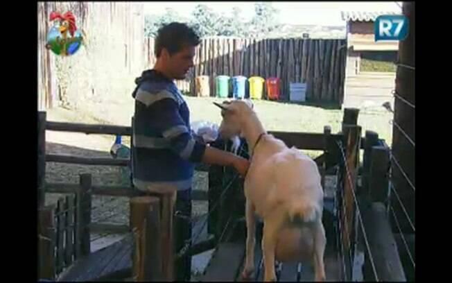 Thiago Gagliasso coloca cabra na posição para iniciar a ordenha