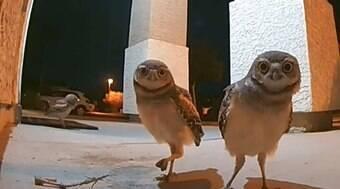 Câmera de segurança registra visita de corujas à varanda de casa