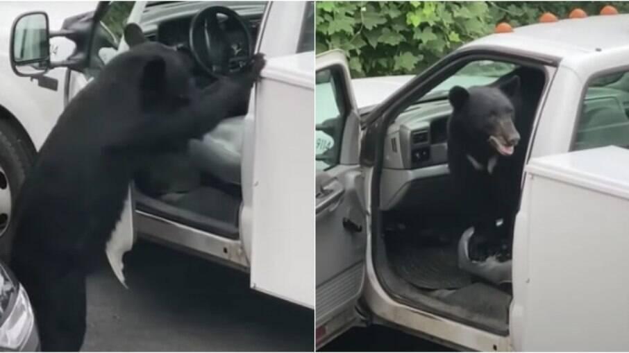 Urso invadiu carro para roubar comida