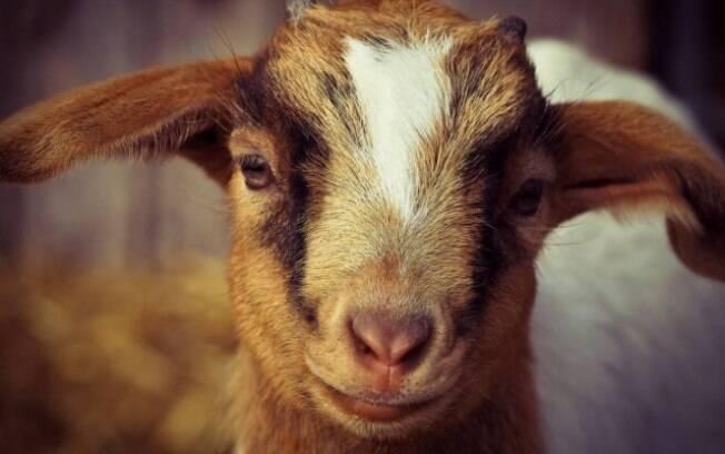Algumas cabras de pijamas estão fazendo sucesso na internet