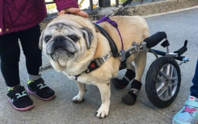 Pug fofíssima tem os melhores trajes com sua cadeira de rodas!