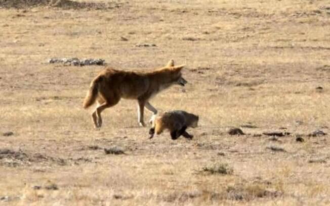 Animais foram flagrados trabalhando lado a lado na Califórnia