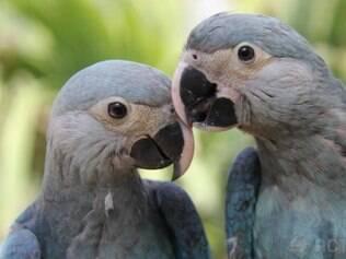 Brasil recebe casal de ararinhas-azuis da Alemanha. Nascidas de uma fêmea brasileira, que foi levada ao país europeu para reprodução, as ararinhas foram batizadas de Carla e Tiago