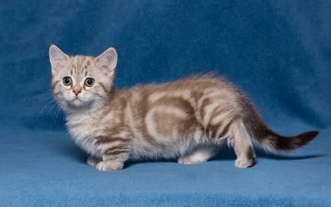 Conheça as raças de gatos mais raras do mundo e se impressione com as peculiaridades
