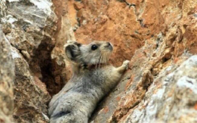 O roedor tem como predadores naturais aves de rapina e raposas de montanha