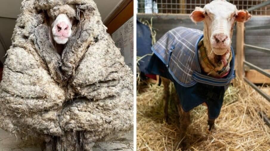 Ovelha na Austrália produz mais de 35 kg de lã ao ser tosquiada