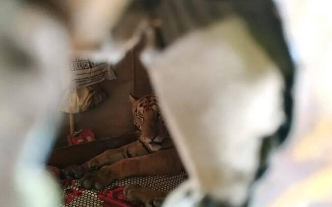 Família volta para casa após enchente e encontra tigre dormindo em cima da cama